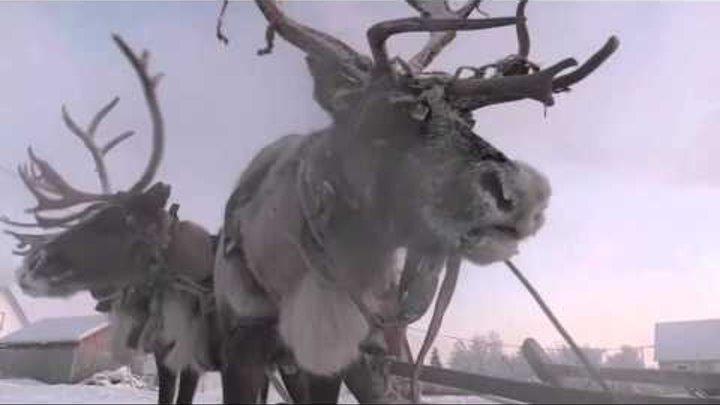 Разведчики СФ учатся использовать оленьи и собачьи упряжки