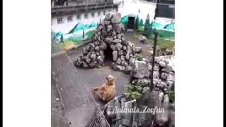Медведь йог. Медведь занимается йогой.Bear yogi Bear is doing yoga.