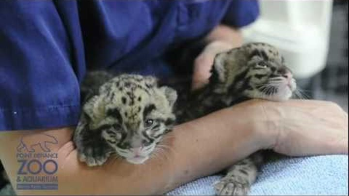 Clouded Leopard cubs at Point Defiance Zoo & Aquarium - 1 month old