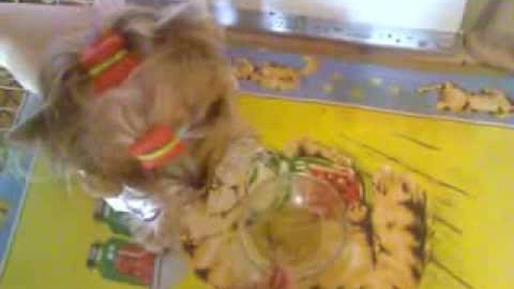 Порода собак - йоркширский терьер. Питание (Фото, видео)