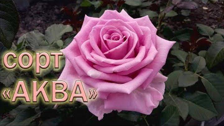 Обзор чайно-гибридных роз сорта Аква