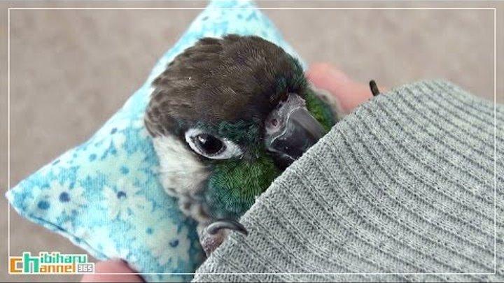 ウロコインコ:チビ 【おやすみインコ Part2】 Conure: Good night Chibi Part 2 - Sleepy Bird