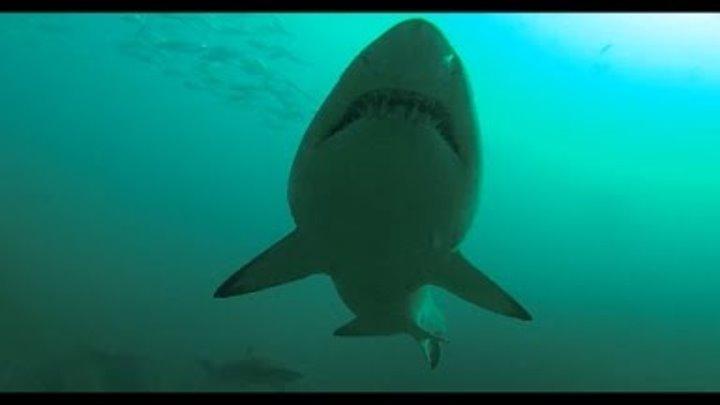 Акулы в Тихом Океане: видео клип про акул на свободе. Песчаная акула в океане у берегов Австралии