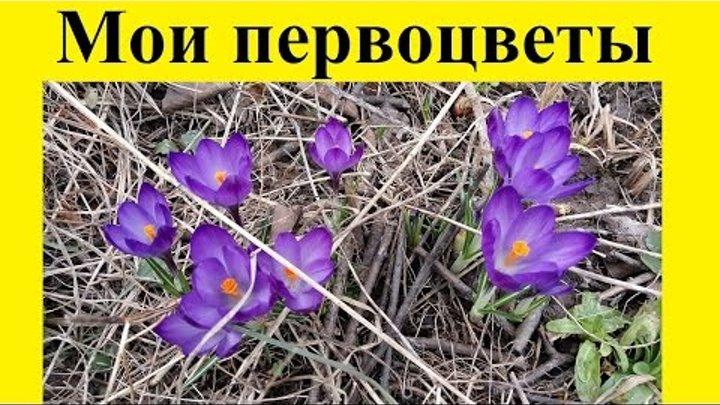 Мои первоцветы 10 апреля 2016: крокусы (шафран), пролески сибирские (сцилла), мать-и-мачеха