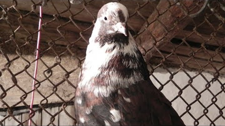Две пары голубей в ожидании потомства - Голубиная сага - 70 серия