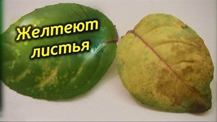 Фуксия - желтеют, сохнут и опадают листья. Проблемы выращивания Фуксий!