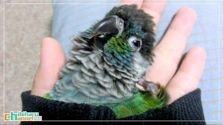 ウロコインコ:チビ 【袖からウロコ Part2】 Conure: Chibi relax at the cuff Part 2 - Bird Relax