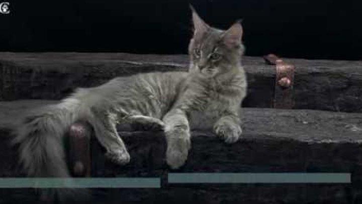 Кошка мейн-кун Olly Grey Claw`s голубая пятнистая (а24) в 5 месяцев www.coonplanet.ru