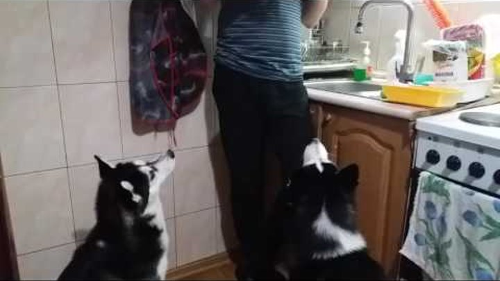Граф и Фея кушают морковку. Вот такие они, хаски. :)