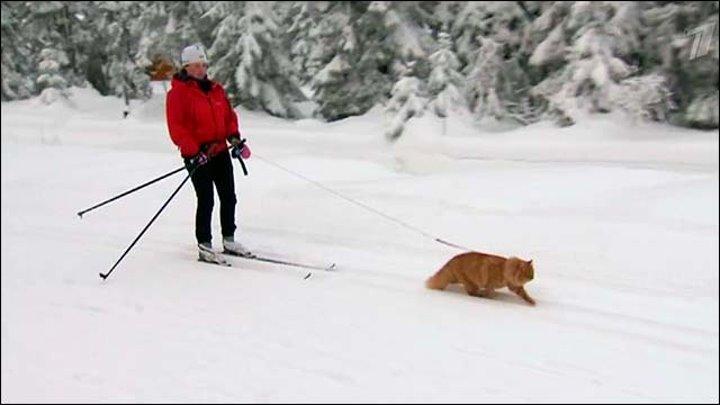 Ездовой кот из Норвегии демонстрирует чудеса дрессировки - Первый канал