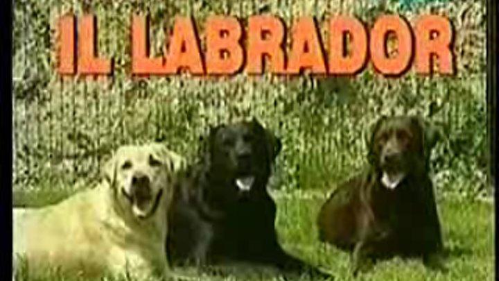 Лабрадор. Фильм о породе лабрадор. Отличный видео - филь
