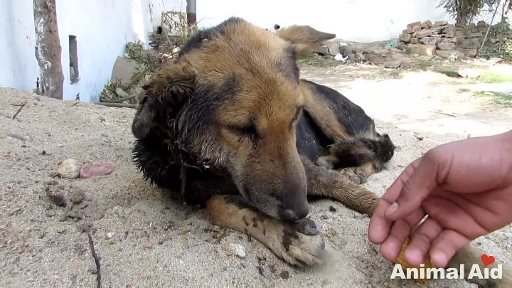 Animal Aid Unlimited, Индия. Спасение бездомного щенка.