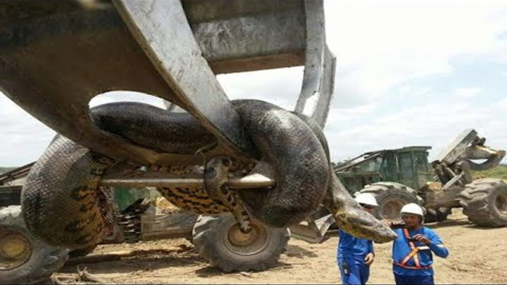 Giant Anaconda found in Brazil