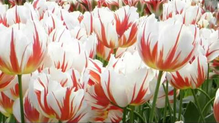 TULIPANY ... Chris Spheeris - Allura)