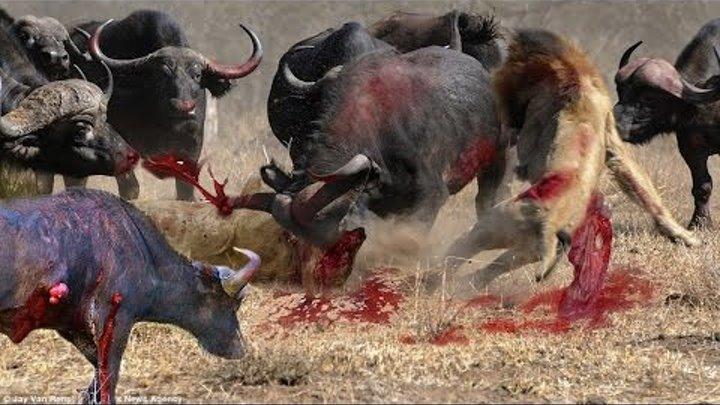 AMAZING Buffalo Attacks AND kills Lion - Craziest Animal Fights Caught On Camera