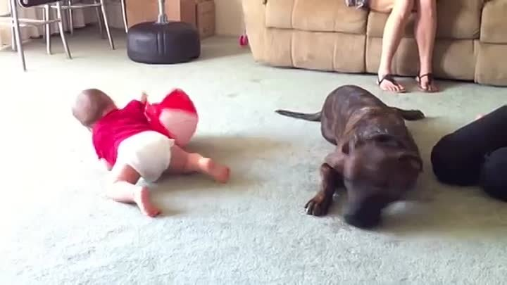 Pitbull Meets Baby For The First Time - Baby Attacks Buddy