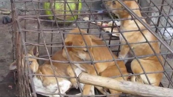 Dogs being slaughtered in Tomohon, Indonesia (VERY DISTURBING TO WATCH!!)