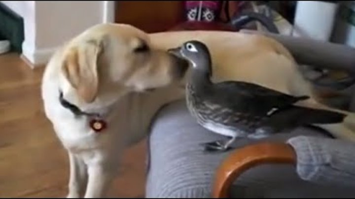 Unbelievable Unlikely Animal Friendships Compilation 2016 | RESPECT