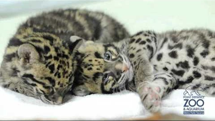 Sleeping clouded leopard cubs at Point Defiance Zoo