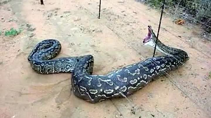 LARGEST Snakes In The World!