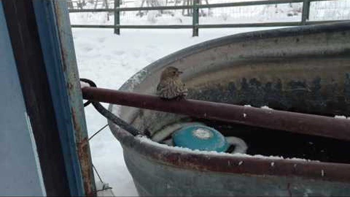 Sparrow Frozen to Fence Rescue