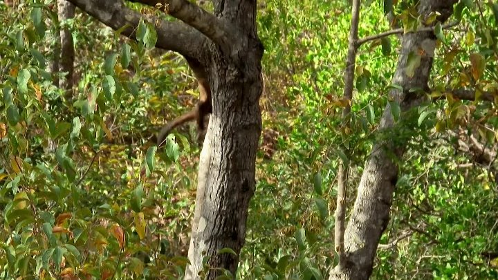 Capuchin monkey nut cracking fail - Spy in the Wild_ Episode 2 Preview - BBC One