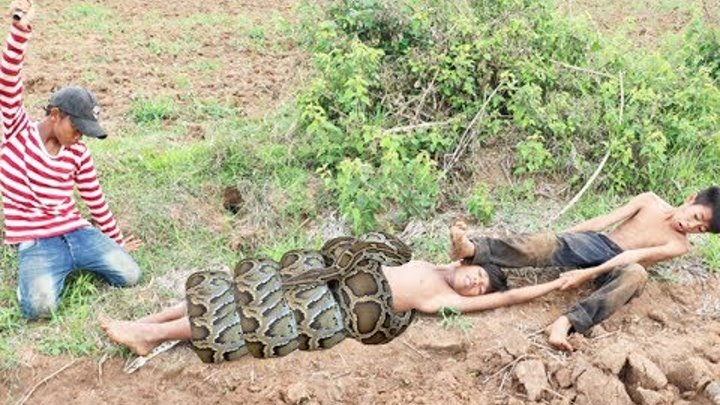 Terrifying! Brave Children Catch 2 Biggest Snakes While Digging Near The Rice Farm