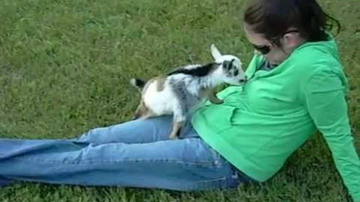 "Rescued Pygmy Goat ""Kid"""