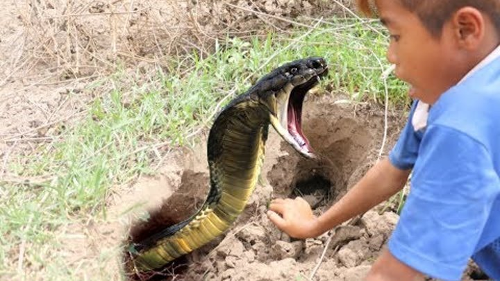 Wow! Amazing Three Brothers Catch Two Big Snakes On Hole By Digging