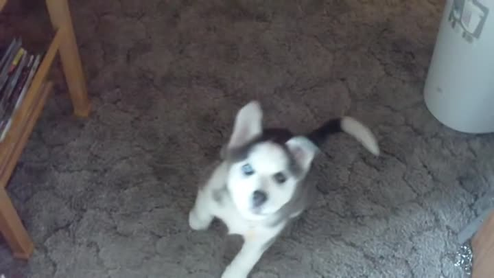 """Husky Puppy Talking saying """"I love you"""""""