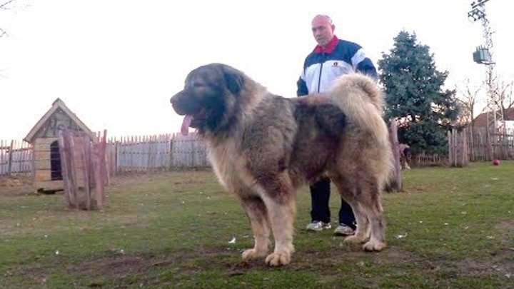 Dogs weighing more than 100 kg need this food ! Watch the video .
