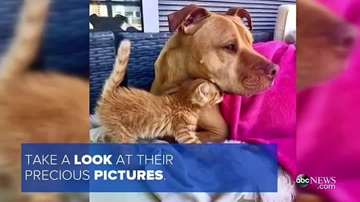 Pit Bull Treats Rescued Kitten Like a Princess