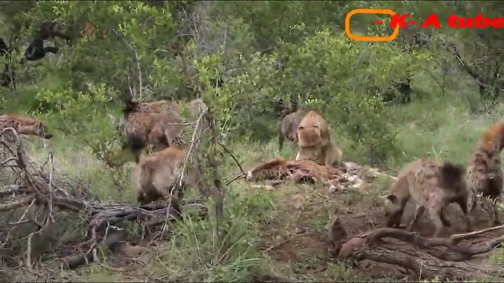 Hyenas attack lioness but male lion comes for revenge - Lion vs Hyena real fight