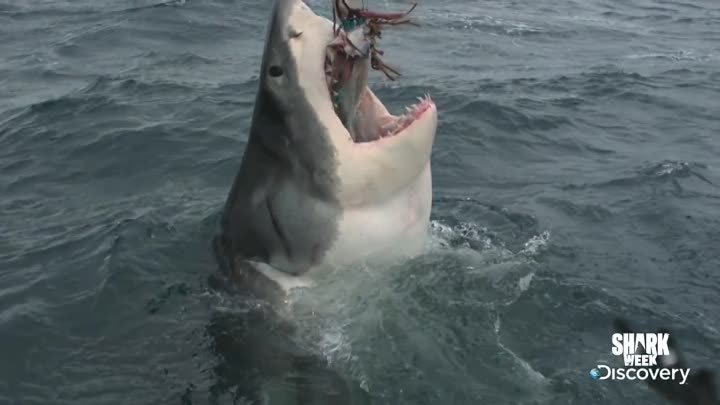 Great White Serial Killer: Testing Aggression