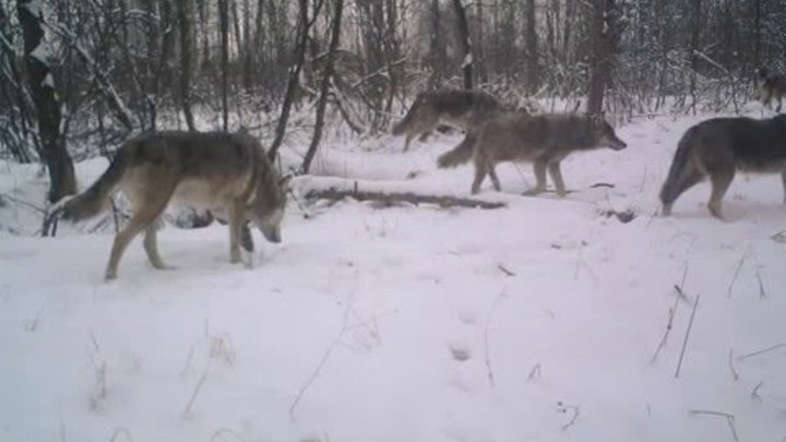 Волчья стая в чернобыльской зоне - зима 2014 Wolves pack in Chernobyl
