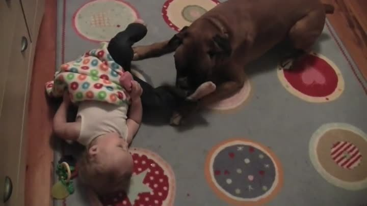 Linus the Boxer loves his baby (and her socks)