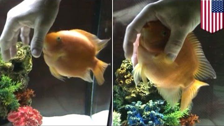 How to massage your fish, as shown by this man massaging his pet blood parrot cichlid
