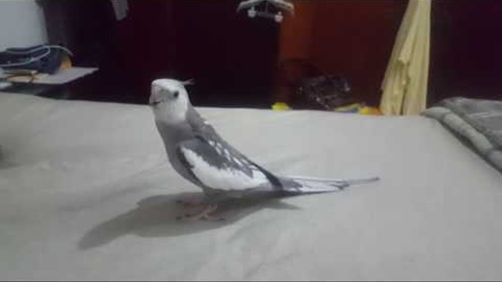 My Cockatiel singing He's Pirate and Star Wars Imperial March