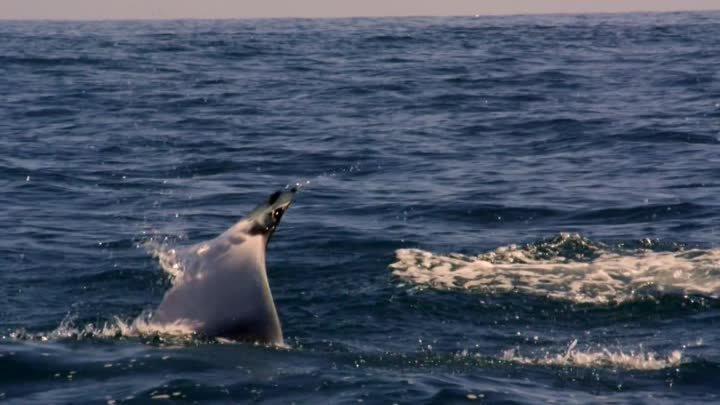 Mobula Rays belly flop to attract a mate - Shark: Episode 2 Preview - BBC One