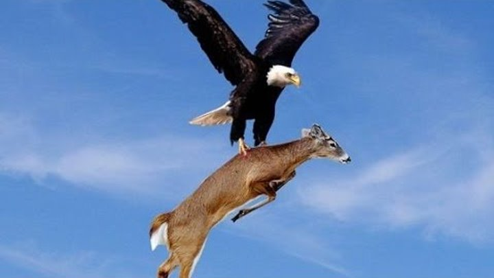 Eagle attacks Wolf, Man, other Animals - Animal Attack Video Compilation