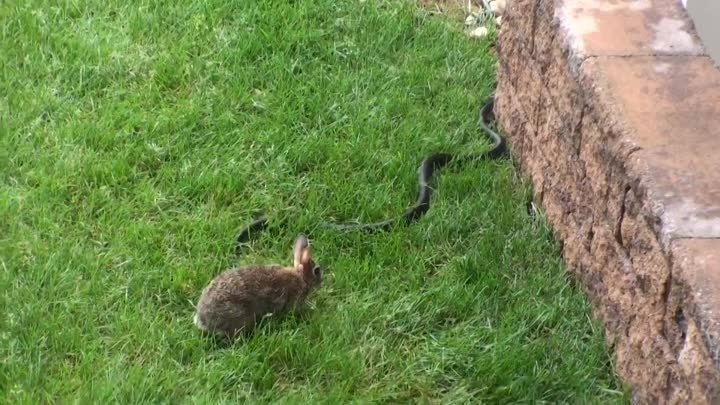 Rabbit go to war with snake to save baby