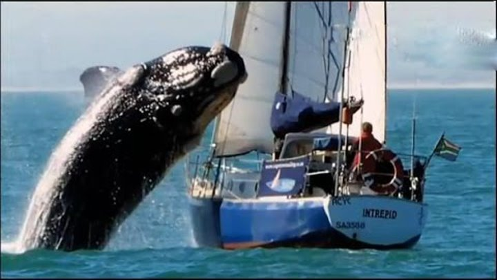 40-ton whale nearly sank the boat of tourists. Aggressive whale / Unique shots