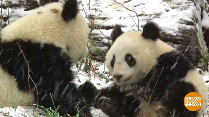В мире. 150 лет знакомства с пандами