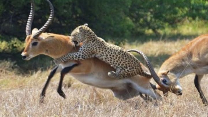 Most Amazing Animal Attack Compilation in HD