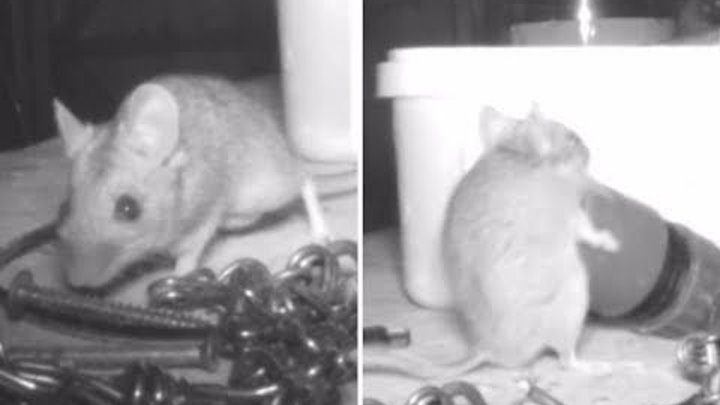 'Ghost' who cleans up this tool shed is actually a mouse (Video) Any Articles News