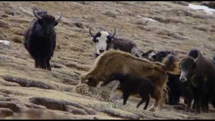 Як спасает теленка от снежного барса (Yak saves calf from snow leopard)
