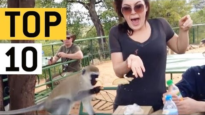 Top 10 Pesky Monkeys 2016 || JukinVideo Top Ten