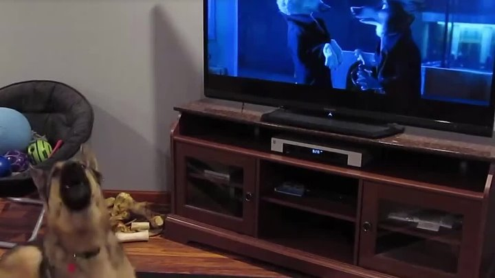 German shepherd howling with wolves from Zootopia♥