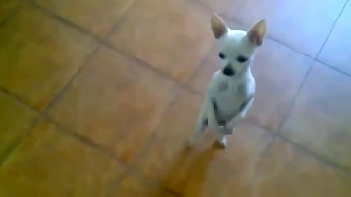 Funny Dog Dancing On A Song