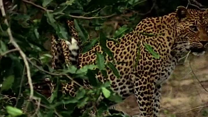 Documentary - National Geographic - 100 Years - Vol 040 - Beauty and the Beasts. A Leopard's Story